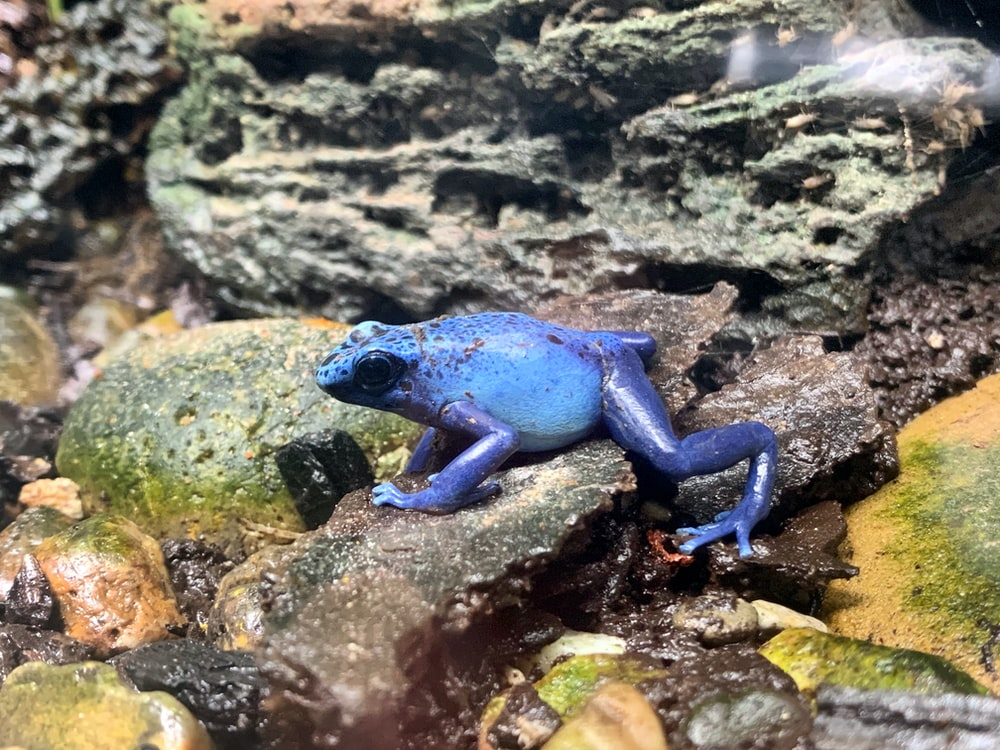 blue frog on gray rock