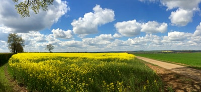 Northampton yellow flower field under blue sky and white clouds during daytime