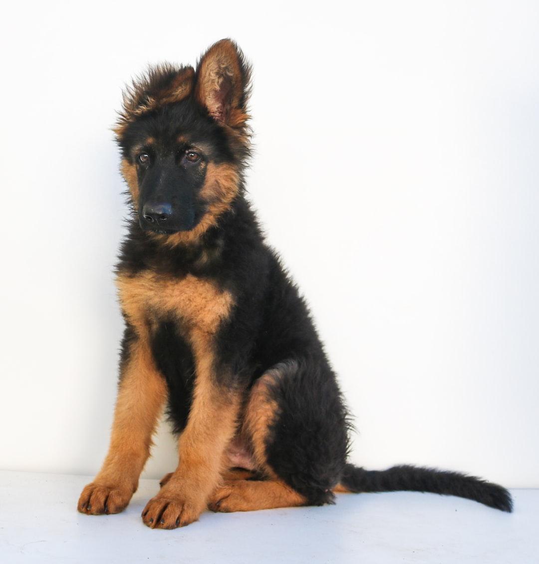 17 weeks old German Shepherd