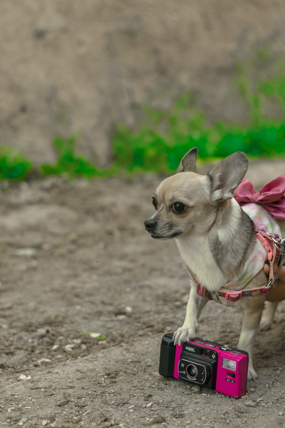 brown and white chihuahua with red leash