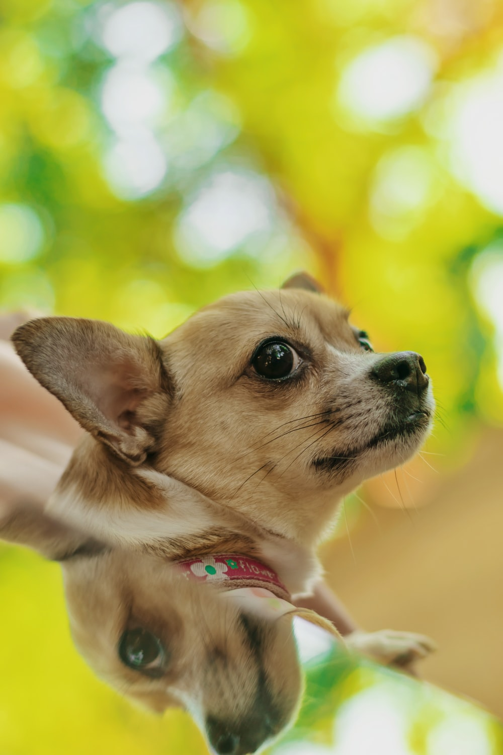 brown chihuahua with blue collar