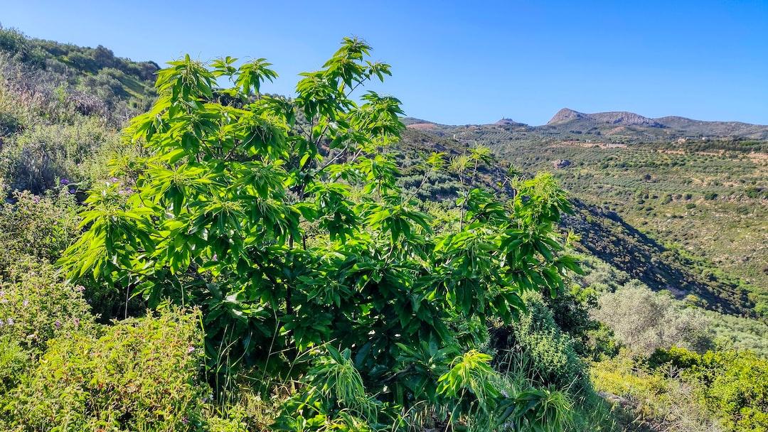 Καστανιά (Kastania or chestnut) full of Flowers during Spring time in Crete Greece.
