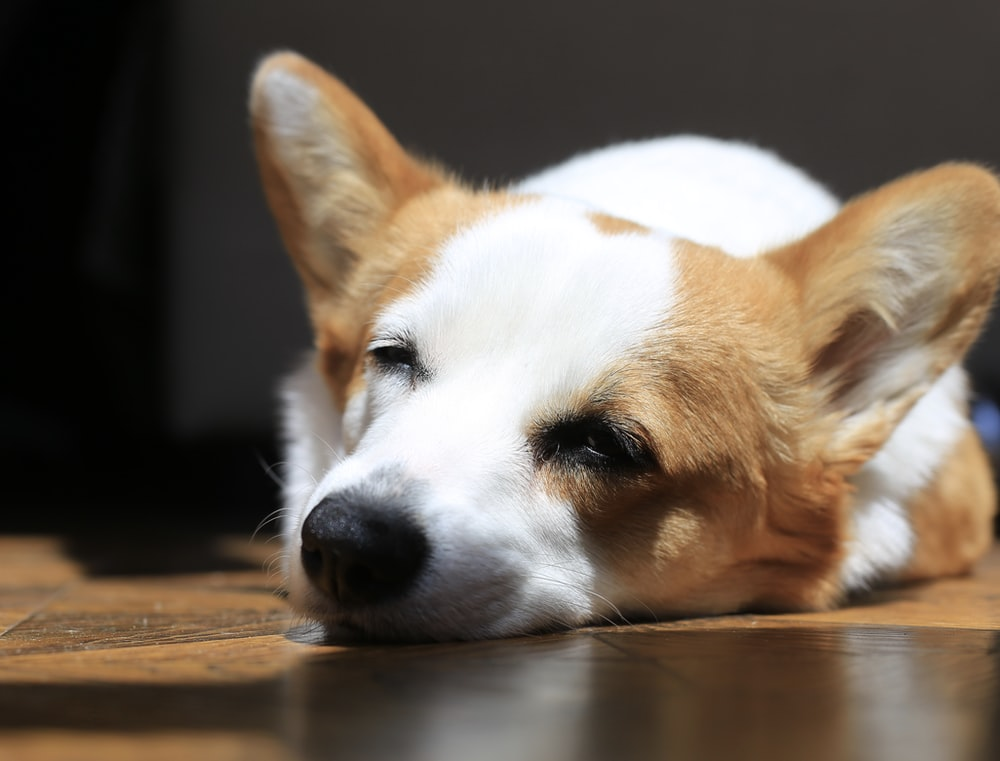 white and brown short coated dog lying on brown wooden floor