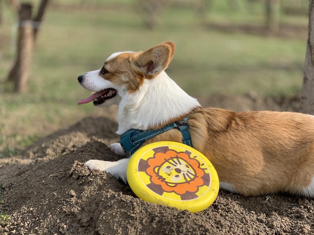 brown and white corgi puppy biting yellow and white plastic round plate