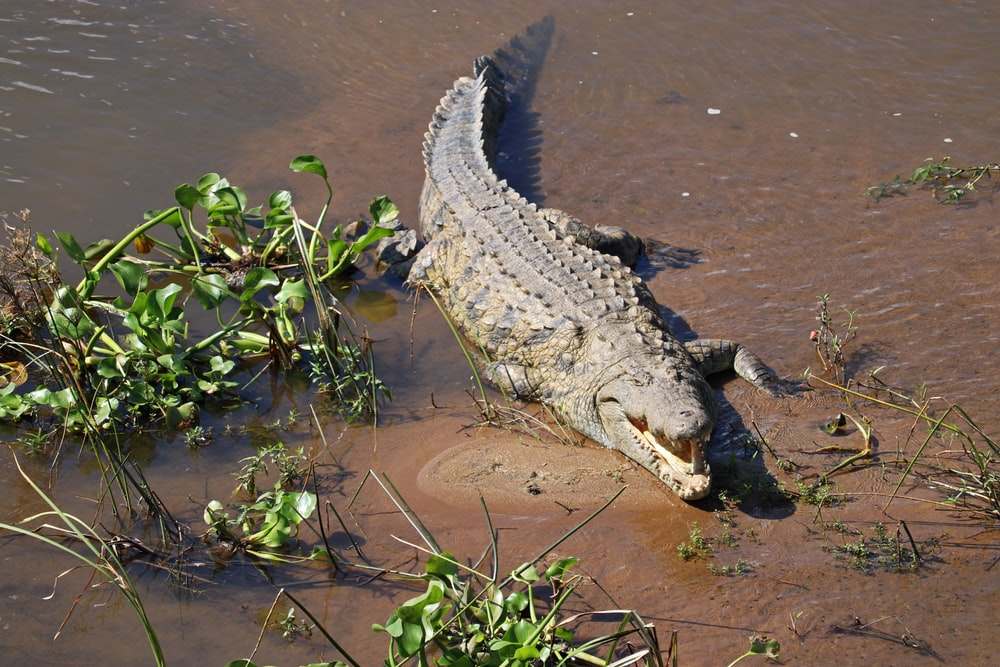 crocodile on water near green plant during daytime