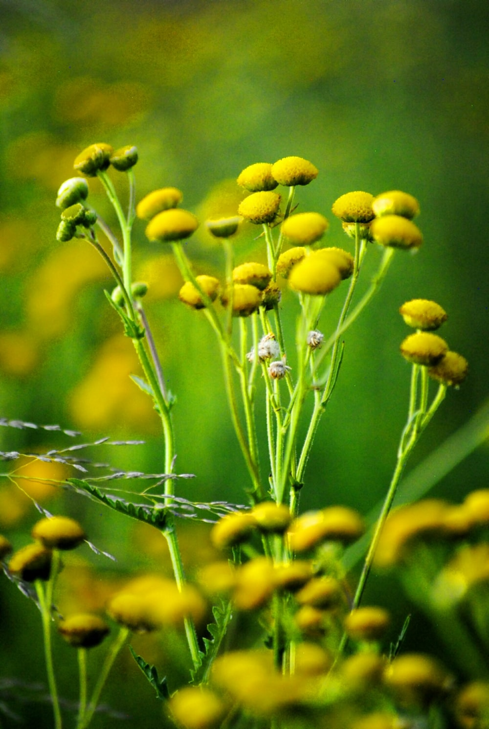 yellow flower buds in tilt shift lens