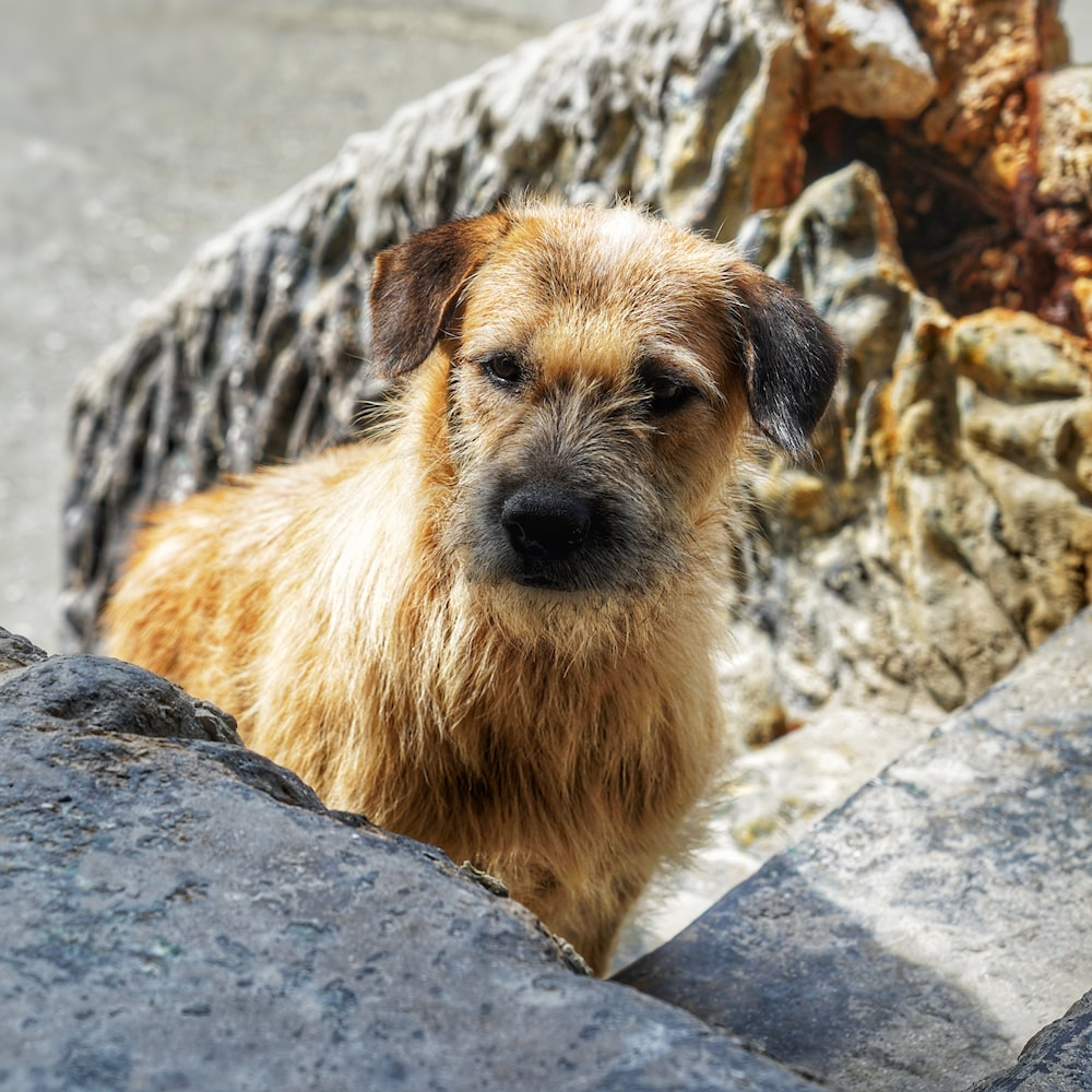 brown long coated small dog on gray rock