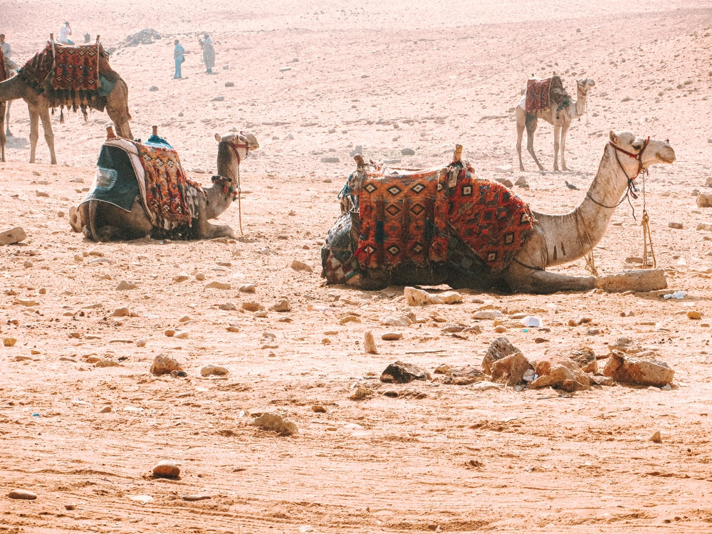 people riding camel on brown sand during daytime