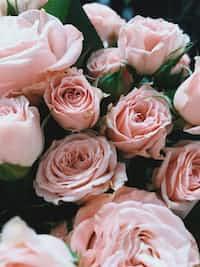 Mellow Roses rose stories