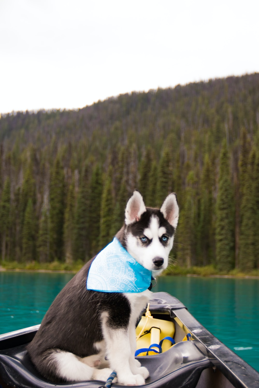 black and white siberian husky on boat on lake during daytime