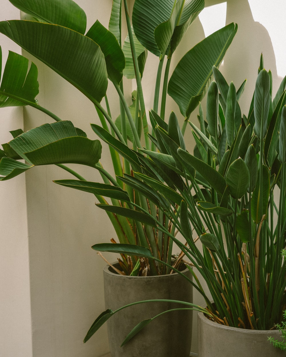 Bird of Paradise in a grey pot, perfect tropical indoor plants.