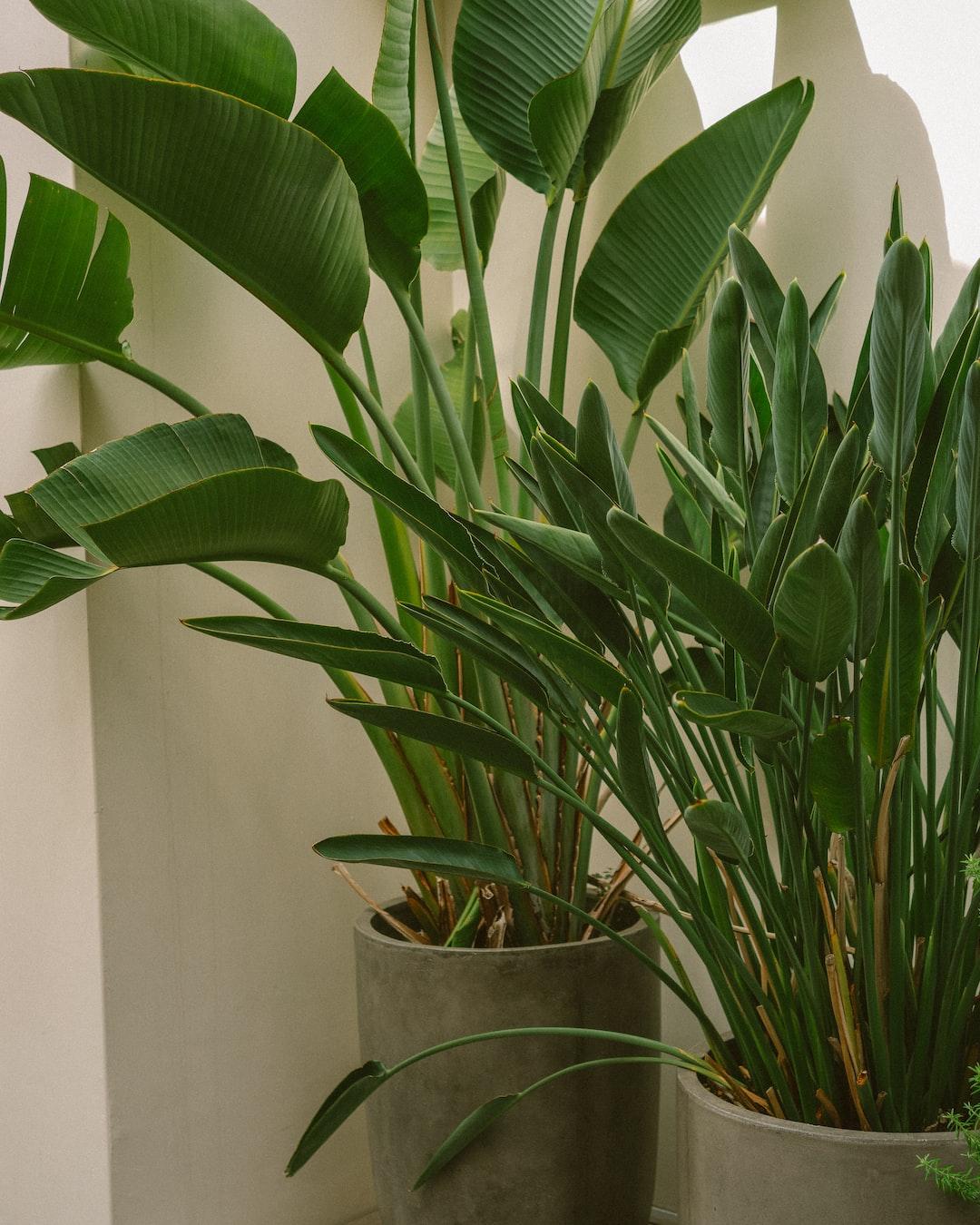 Strelitzia reginae, commonly known as the crane flower or bird of paradise.