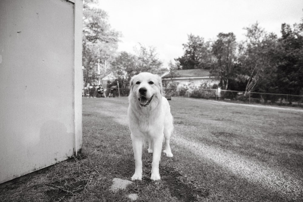 grayscale photo of golden retriever sitting on road
