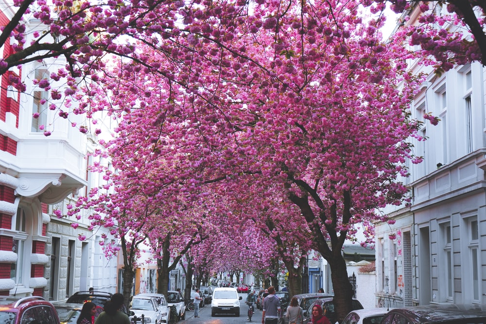 pink cherry blossom tree near white concrete building during daytime