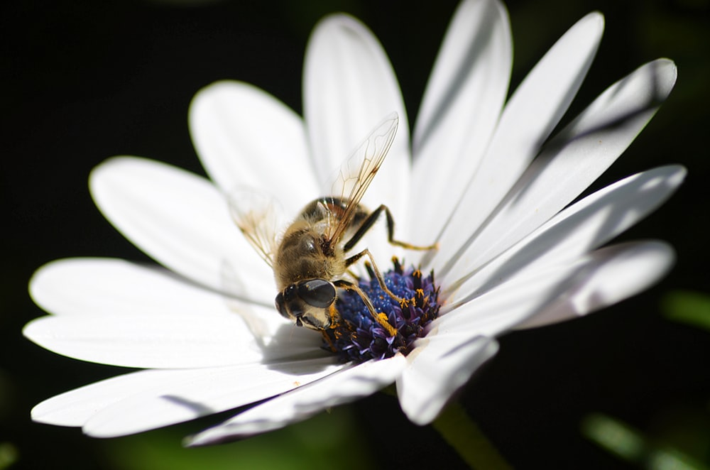 Honeybee Perched On White Daisy In Close Up Photography