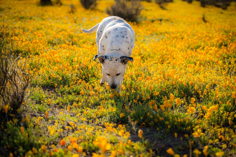white and black cow on yellow flower field during daytime