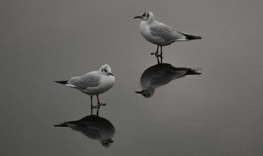 two white and gray birds on water