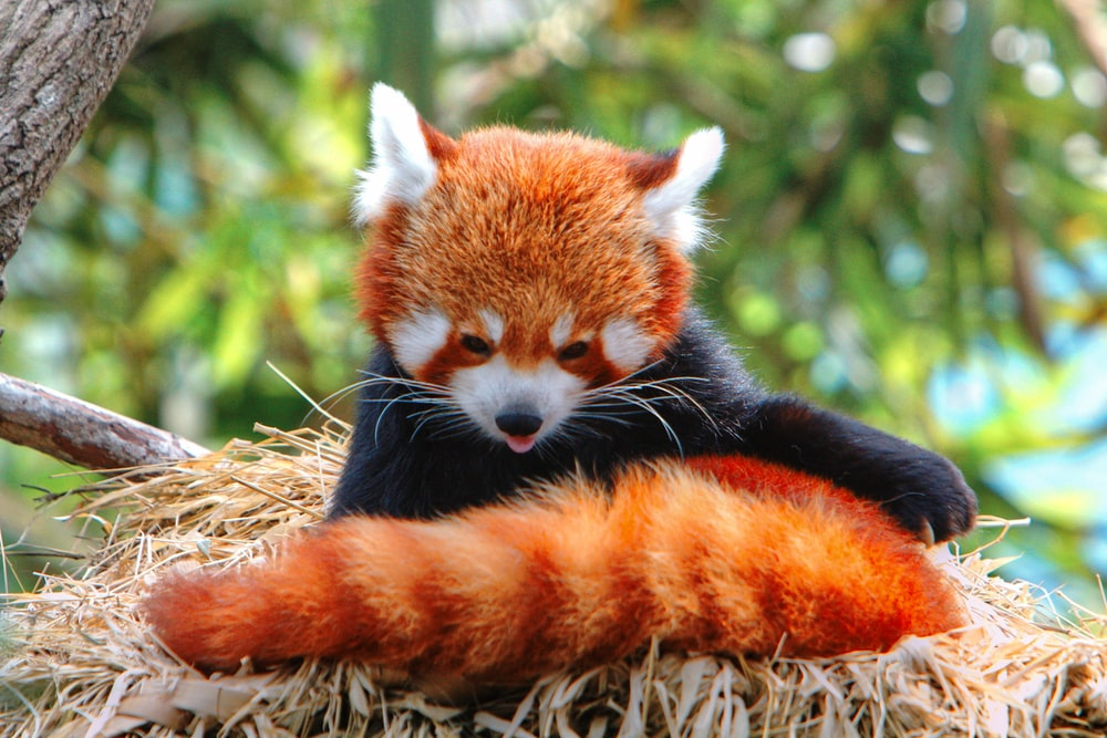red panda on brown nest