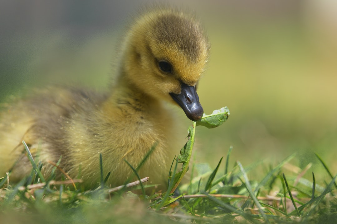Canada Goose Chick in Montreal, Canada. Captured 14th of May, 2020.