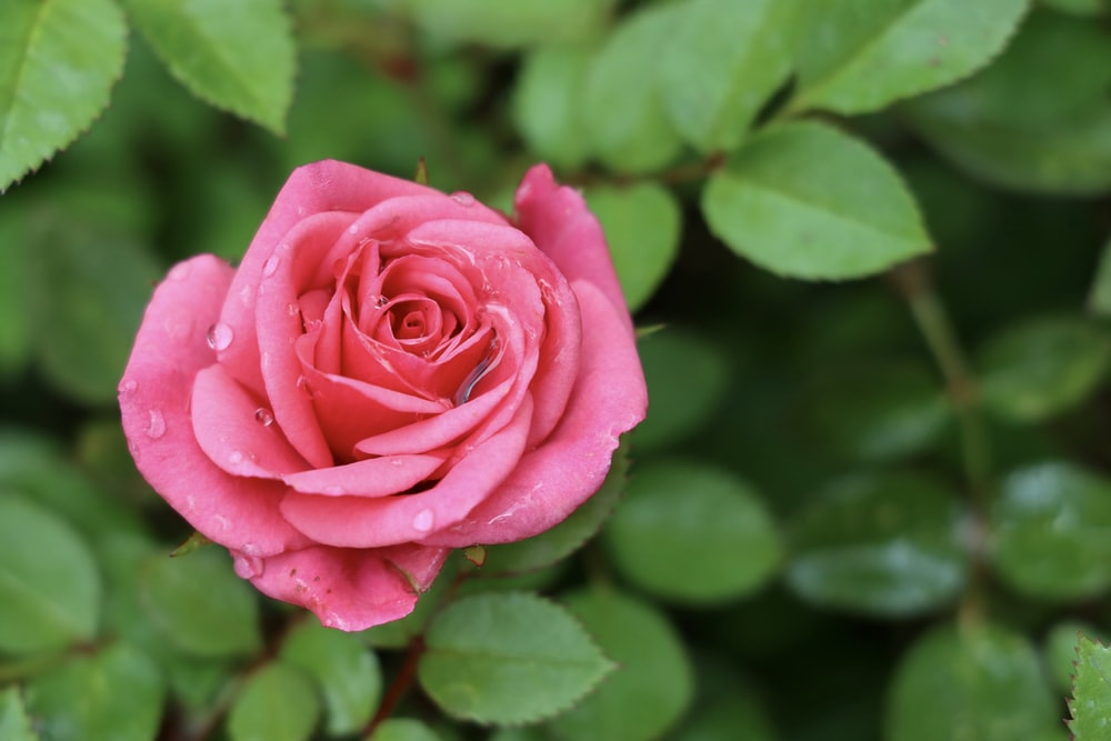 100 Pink Rose Pictures Hd Download Free Images Stock Photos On Unsplash