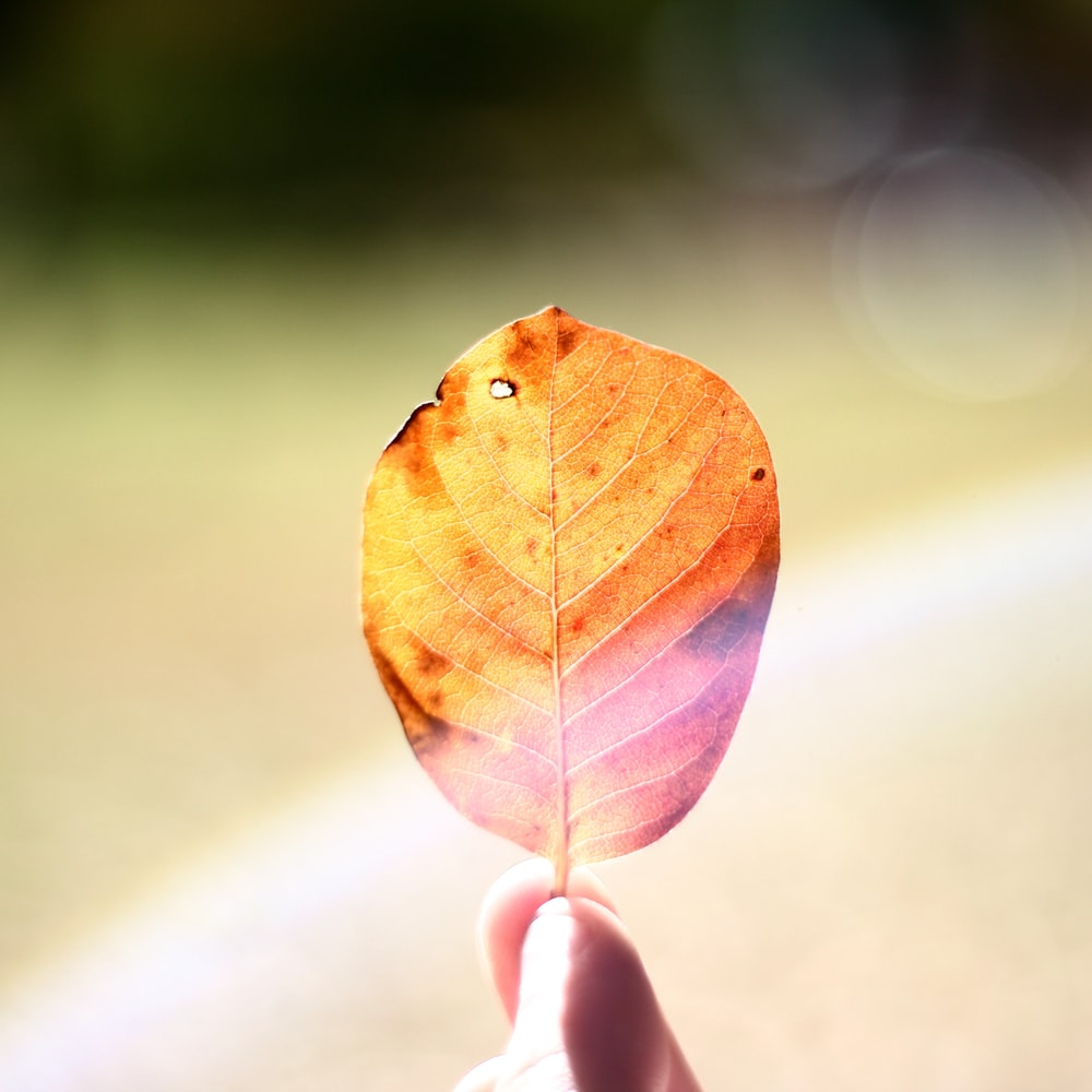 person holding brown and purple leaf