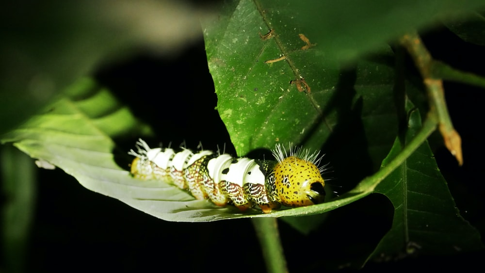 white and yellow caterpillar on green leaf