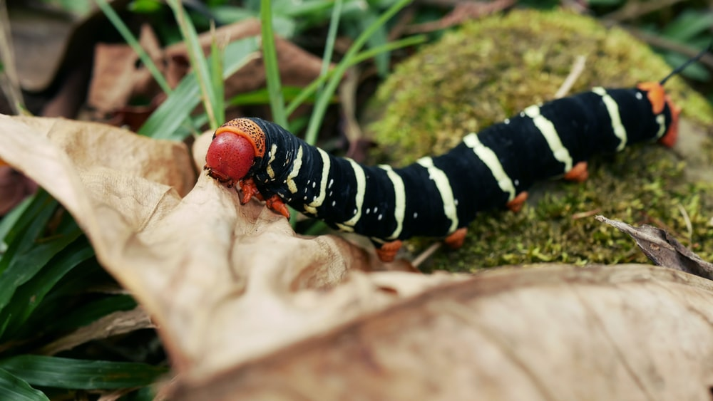 black and white caterpillar on green grass