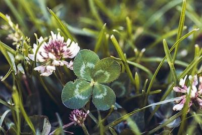 purple and white flower in tilt shift lens four leaf clover teams background