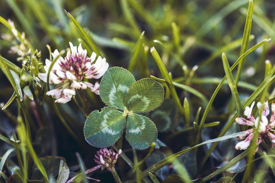 A Lucky four leaf clover next to a clover bloom