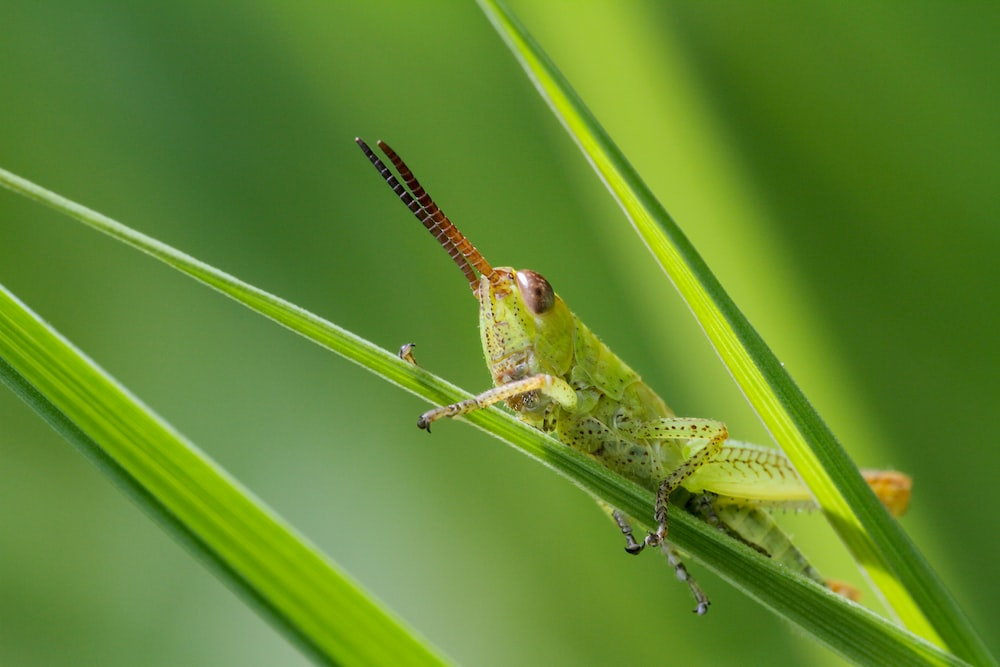 green grasshopper perched on green leaf in close up photography during daytime