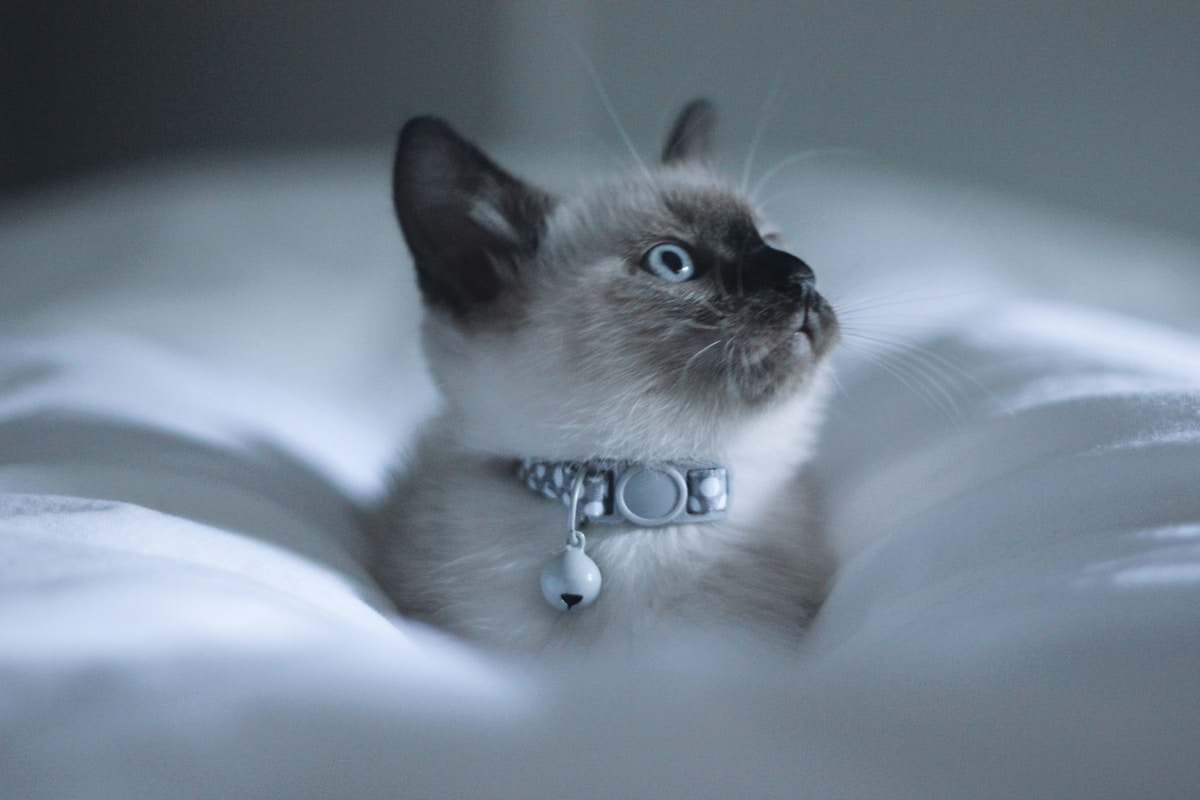 A cat with a white furt, black ears, black face and light blue eyes waering a silver and white polka dot collar and a bell sitting in white sheets perhaps between their human's legs