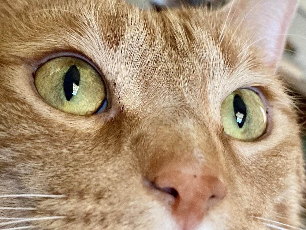 orange tabby cat with green eyes
