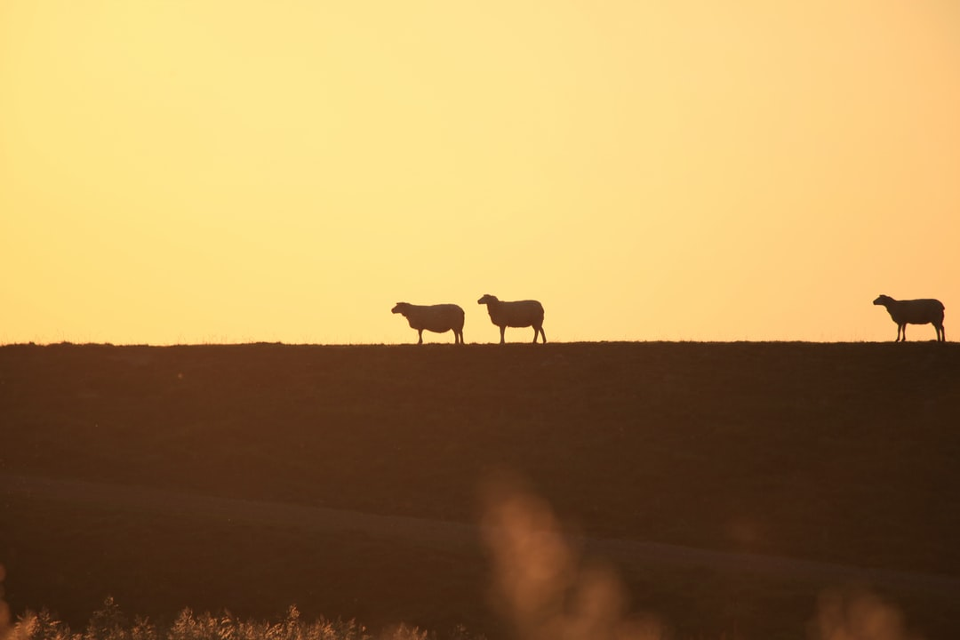 Sheep on a dike on the Danish island Rømø following each other in golden sunlight.