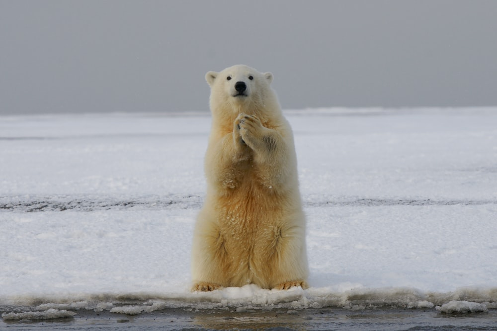polar bear on snow covered ground during daytime