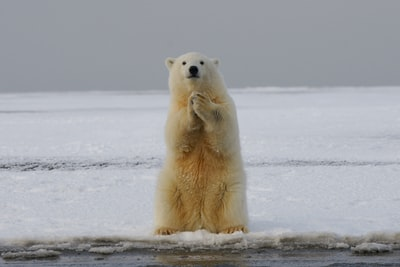 polar bear on snow covered ground during daytime bear teams background