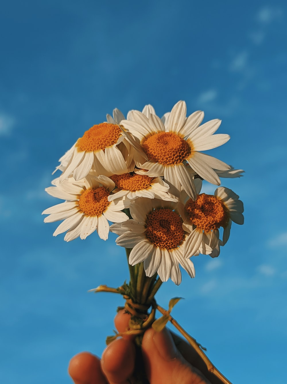 white and brown daisy flowers under blue sky during daytime