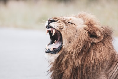 brown lion with white tongue out lion teams background