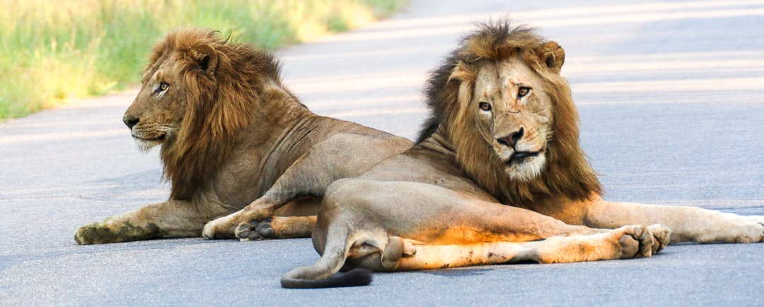 two male lions in road