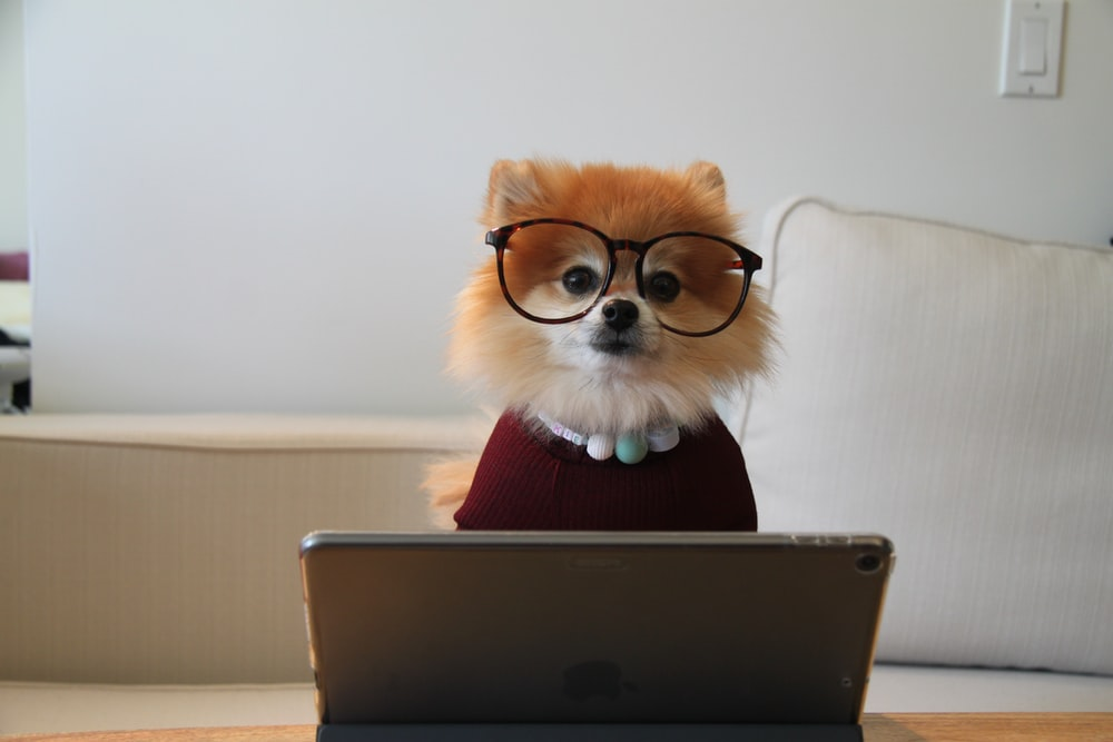brown and white pomeranian puppy on macbook