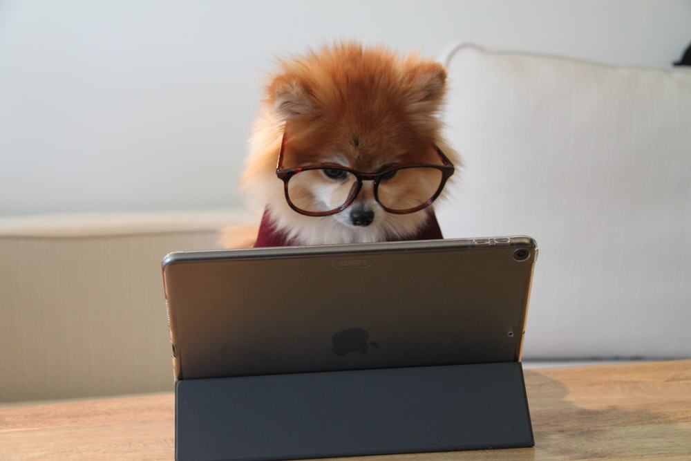 brown and white long coated small dog wearing eyeglasses on black laptop computer
