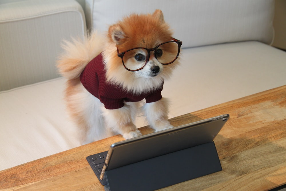 brown and white pomeranian puppy on macbook pro