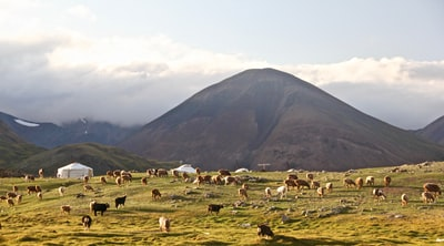 white sheep on green grass field near mountain during daytime mongolia teams background