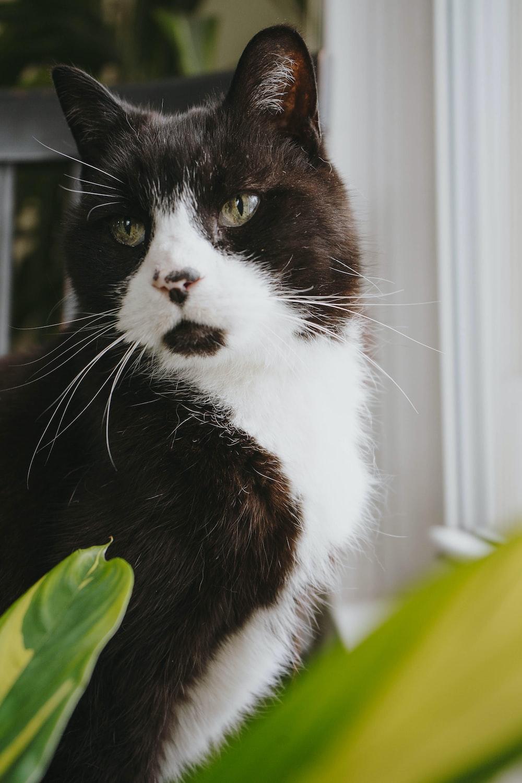 tuxedo cat in front of window