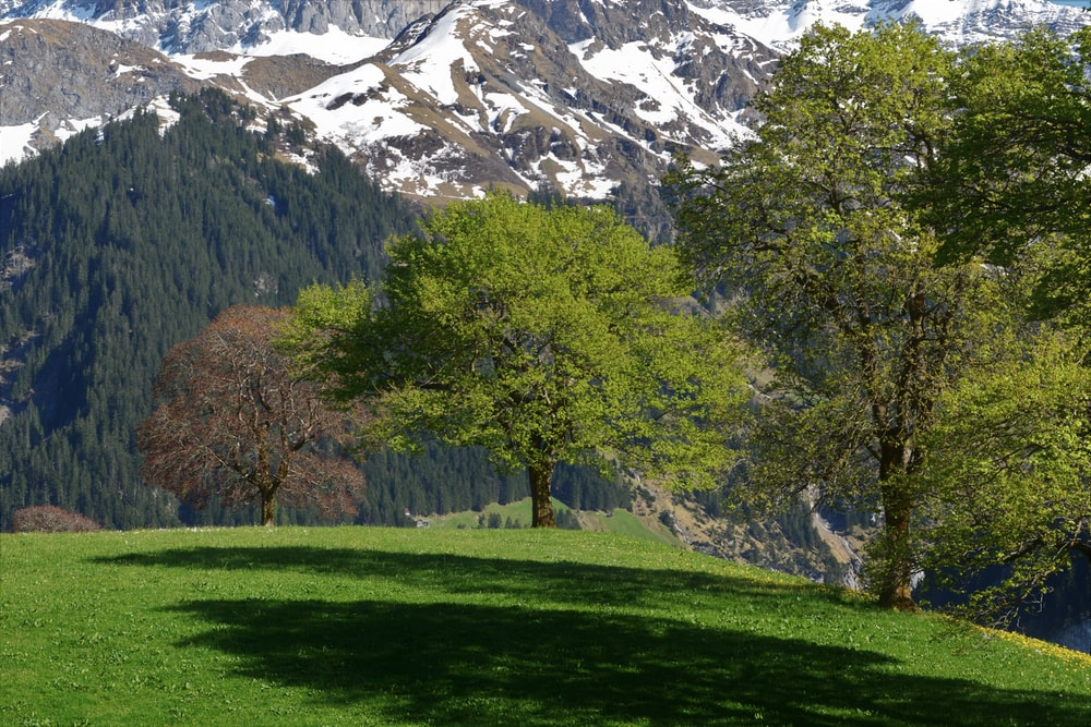 green grass field with trees and snow covered mountain in distance