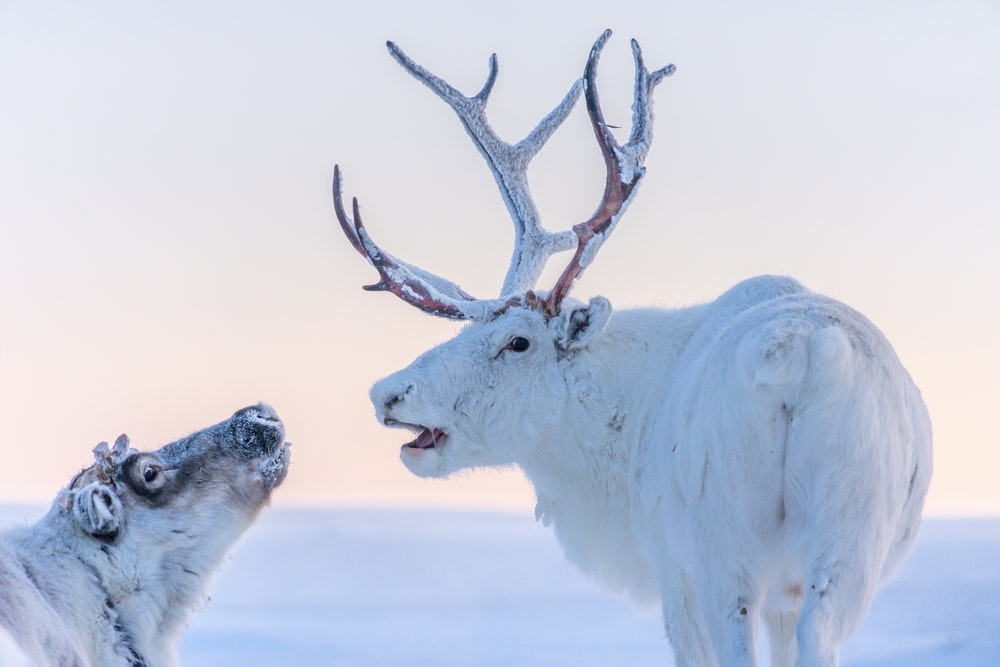 white and brown deer on snow covered ground