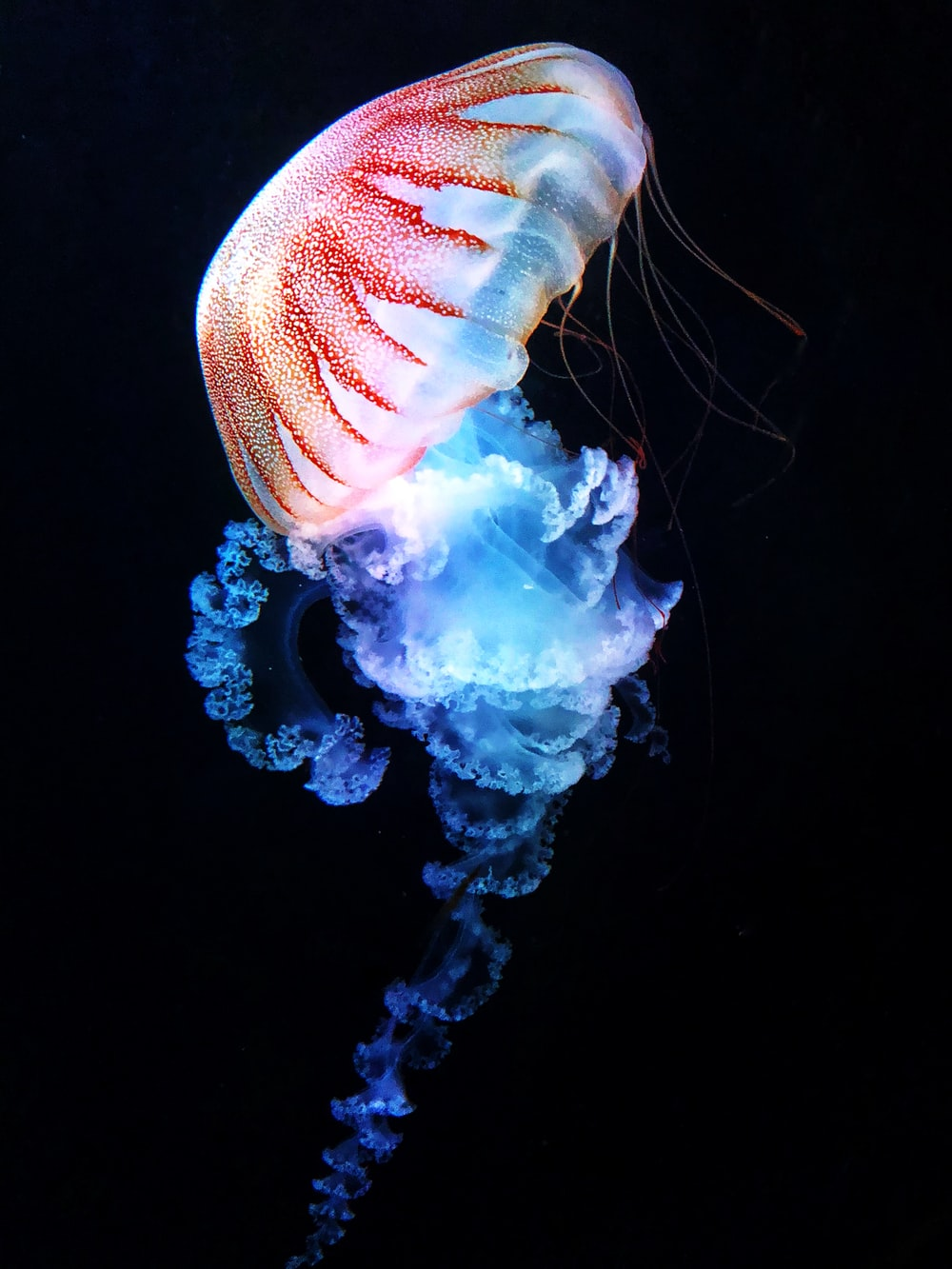 blue and white jellyfish in water