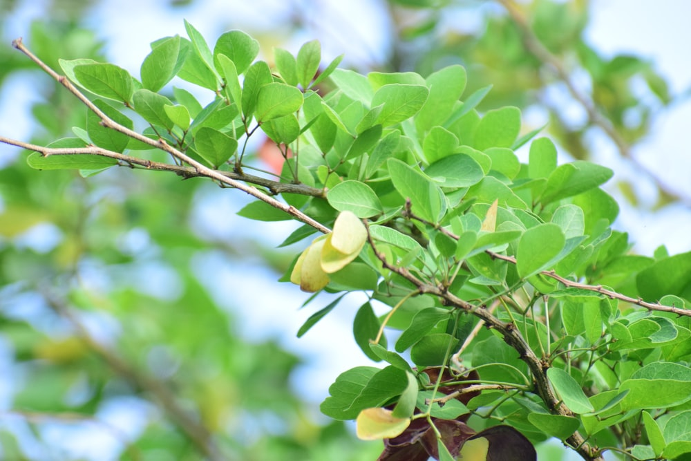 green fruit on tree during daytime