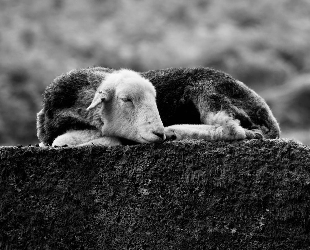grayscale photo of a horse lying on a ground