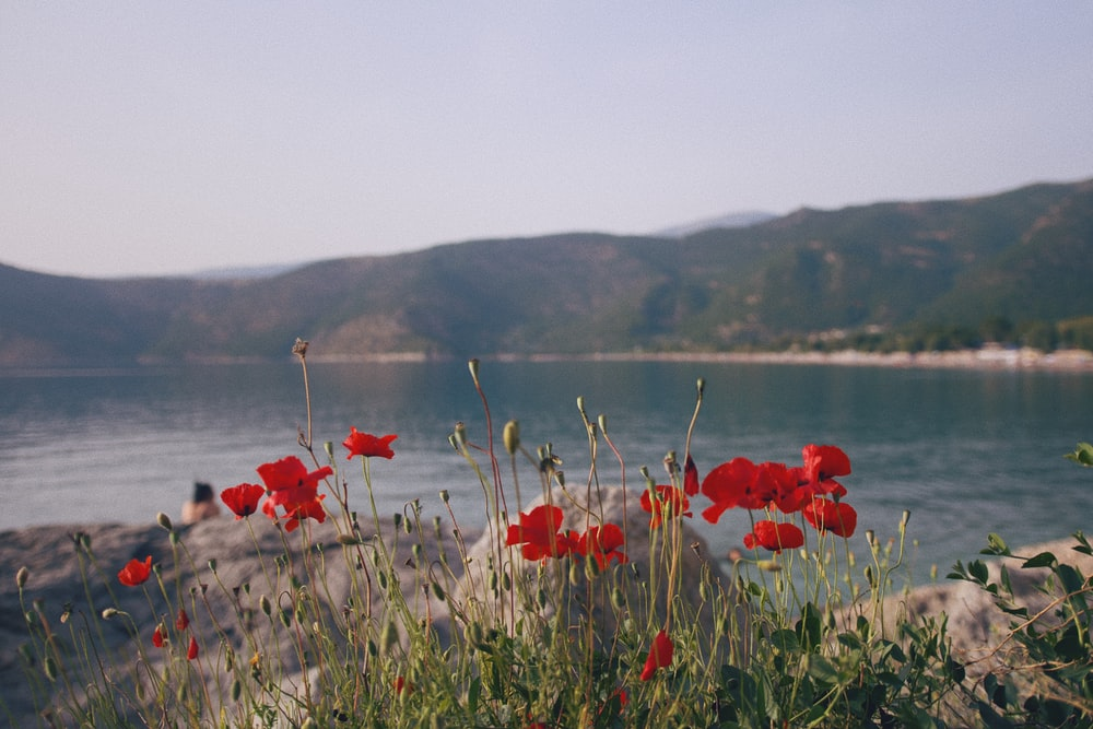 red flowers on green grass field near body of water during daytime