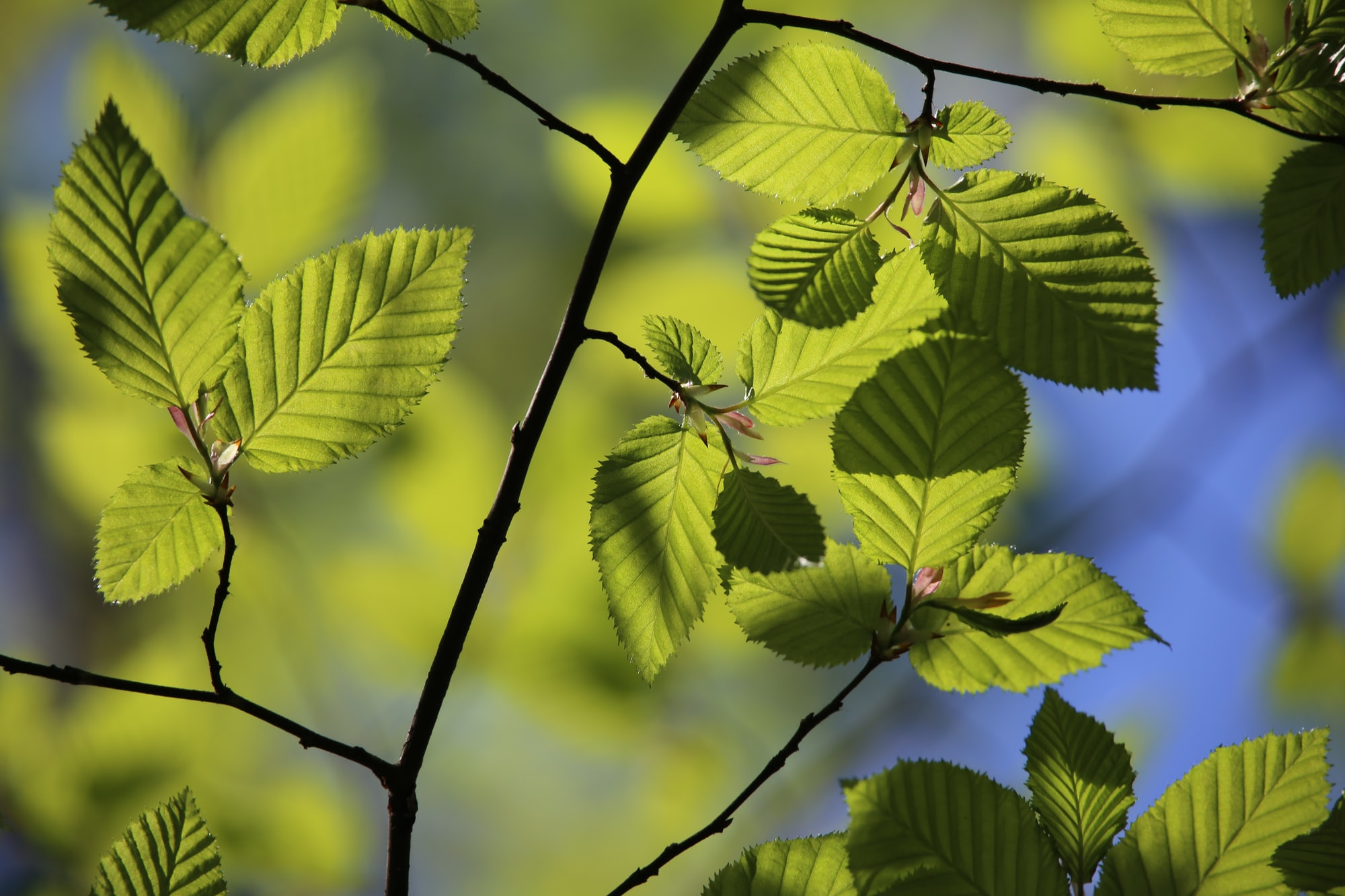 The wonder of creation: Fresh green beech leaves in the spring sun